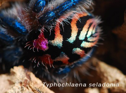 Pamphobeteus ultramarinus tarantula