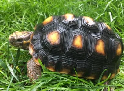 Szép nagy szenes teknős felszereléssel eladó