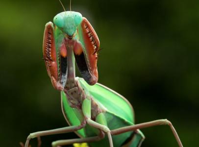 Keresek Mantis fajokat
