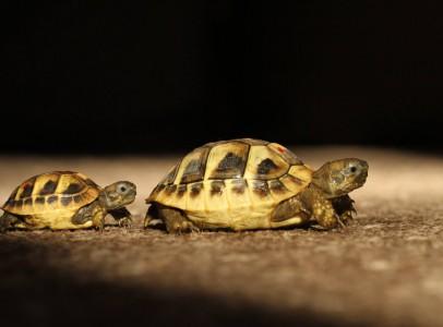 Görög teknős (Testudo hermanni)