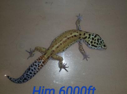 Elado leo gekkok normál kiraly piton