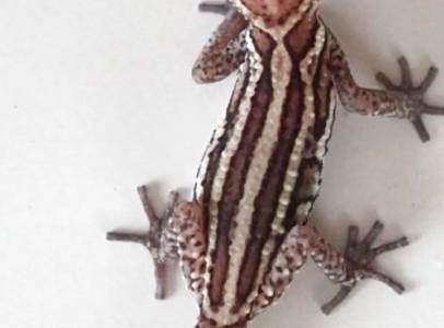 Madagaszkári tarka gekkót keresek