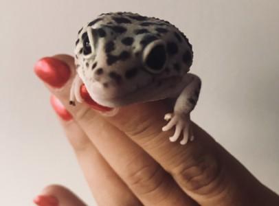 Leopárd gekkó + terrárium