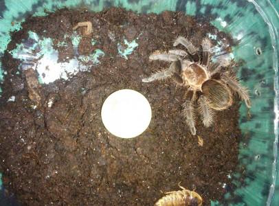 Brachypelma albopilosum és Acanthoscurria genicu