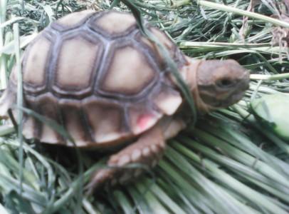 Egzotikus  teknősök