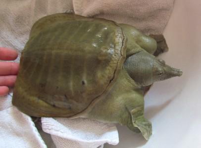 Ivarérett nőstény kínai lágyhéjú teknős eladó