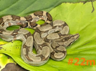 2016-os Tumbesi boák (Boa c. longicauda)