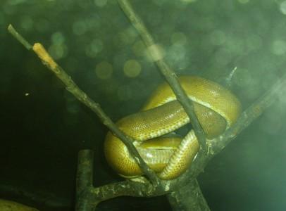 Corallus enydris enydris adult nőstények eladók
