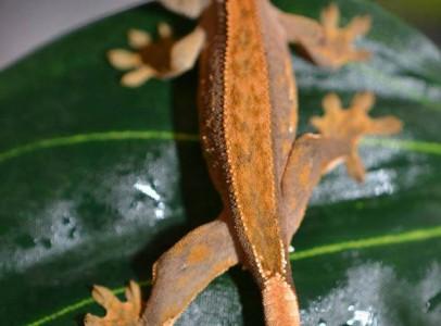 Vitorlásgekkók (C. Ciliatus)