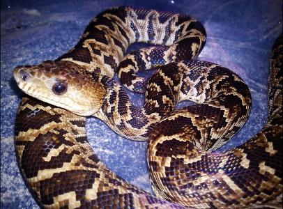 eladó Kígyók