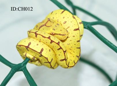 Morelia viridis Jayapura