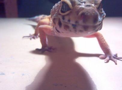 Hypo leopárd gekkó