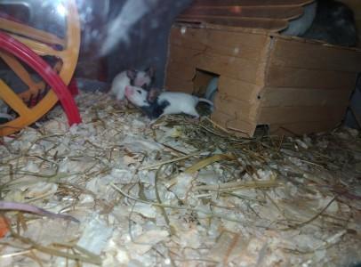 Japán táncoló egerek
