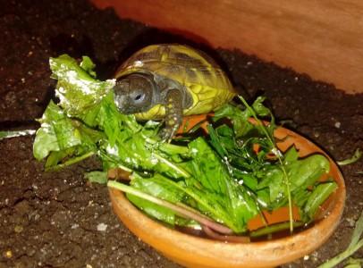 Eladó Görög teknős.
