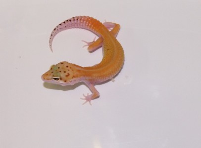 Leopard Geckos - Electric tangerine, Sunglow...