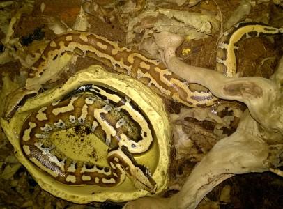 Borneoi kurta piton (Python curtus breitensteini