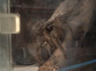 Psalmopoeus cambridgei adult nőstény terráriumma