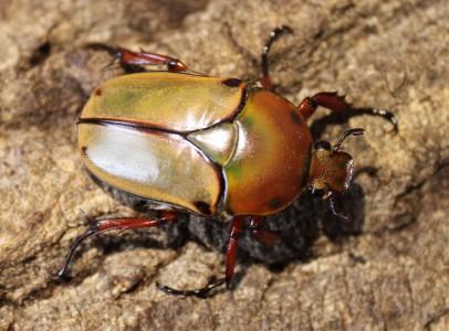 Larvae beetle
