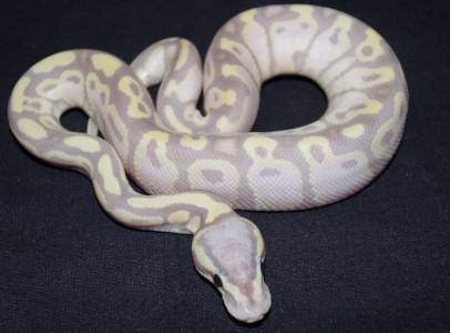 Python regius/Ball python morphs - Budapest/Gyor