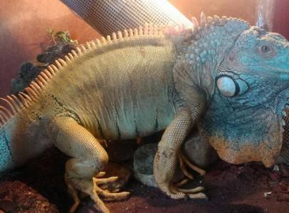 Eladó Iguana (Iguana)