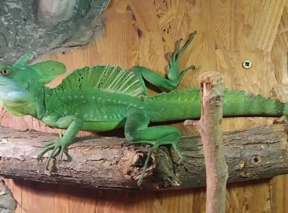 Basiliscus plumifrons hím