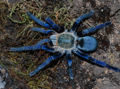 14  species of Tarantulas spiders available sale