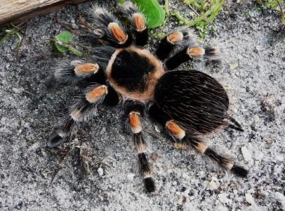 14 faj tarantula pókok és pókocskával eladó