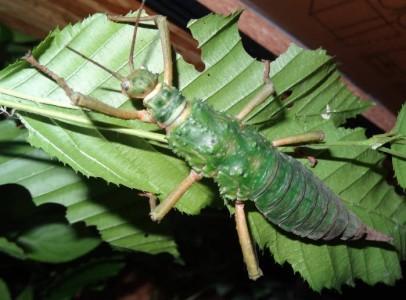Phasmidae eggs - Mearnsiana bullosa (Mindanao)