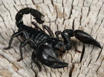 Fekete Scorpions Eladó 100 gramm plusz