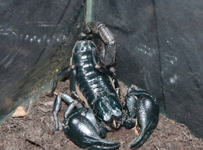 Black Emperor Scorpions For Sale 100gms+