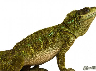 Hydrosaurus intergrated (Sailfin Dragon) CB14
