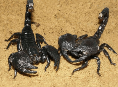 Black Scorpions Available 100 grams plus