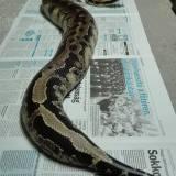 pythonarium