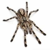 arachnida-anarchia